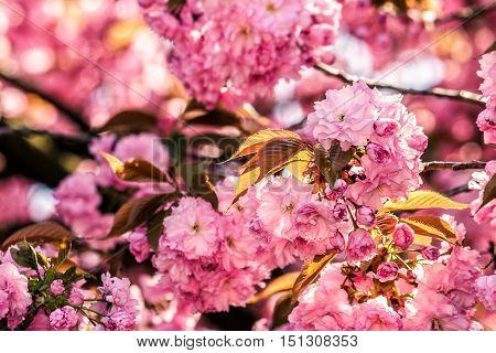 Pink Blossomed Sakura Flowers