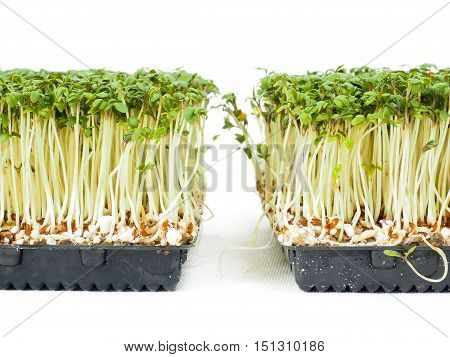 Watercress Plants Growing In A Little Black Tray, Towards White