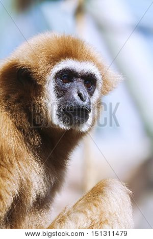 Portrait of White-handed gibbon (Hylobates lar) monkey
