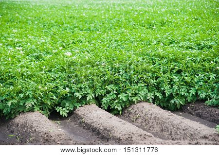 Potato Plants Field
