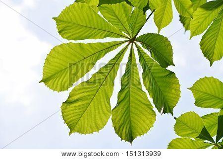 Spring Green Horse Chestnut Leaves Over Blue Sky