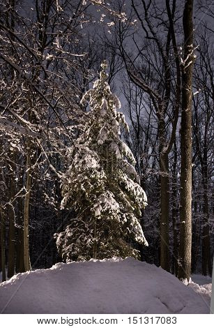 Christmas night in beautiful winter forest. A Big fir-tree covered with snow