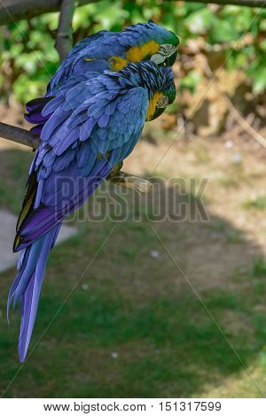 Blue-and-yellow macaw, Ara ararauna, Macaw parrot sitting on a branch