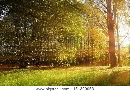 Forest autumn nature. Forest autumn sunny landscape - forest autumn yellow trees and sunbeams shining through the tree tops. Autumn picturesque sunny forest landscape in autumn light