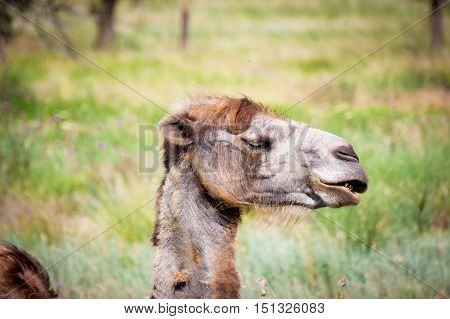 Bactrian Camel With Closed Eyes