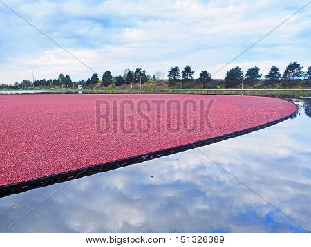 Cranberry bog during harvesting in the fall