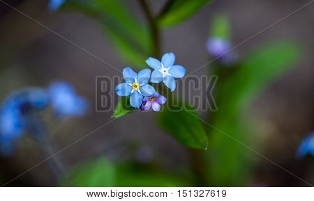 Delicate tiny blue flowers of forget-me-nots (Myosotis)