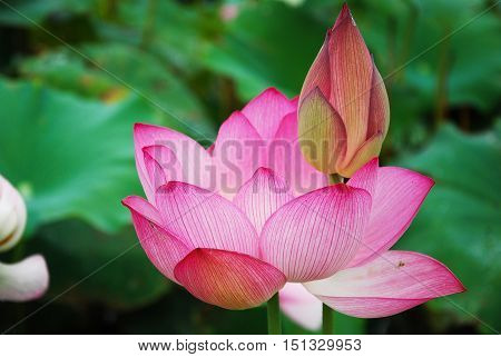 The beautiful blossoming lotus flower closeup in garen