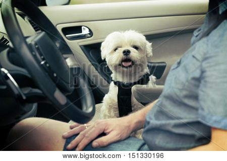 Small dog maltese in a car his owner in a background. Dog wears a special dog car harness to keep him safe when he travels.