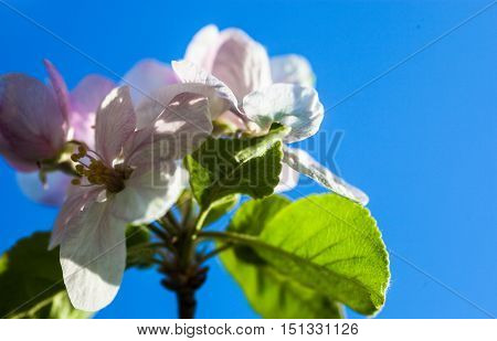 Apple tree flowers against the blue sky background.