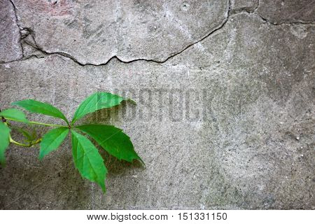 Cracked concrete surface with the ivy leaf.
