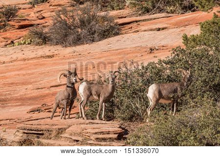 a group of desert bighorn sheep in utah