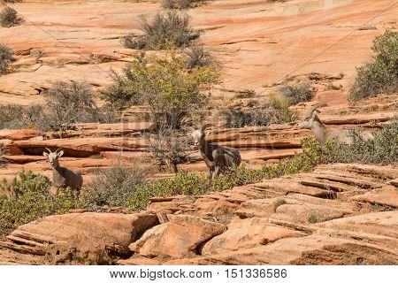 a group of three desert bighorn sheep ewes