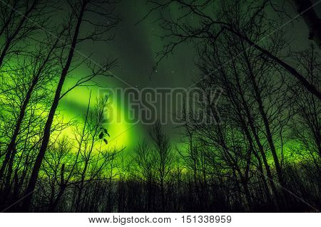 The mystical glow of the Northern lights over the tree tops in autumn forest