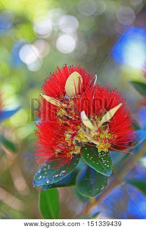 Close Up Of Native Pohutukawa Flower. New Zealand