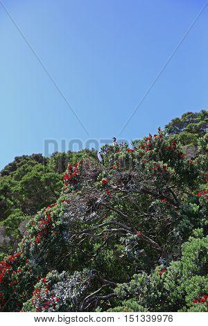 Pohutukawa Trees On The Shore Of The Coromandel Peninsula, Nz.