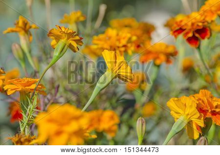 Flowerbed Of Marigold Flowers