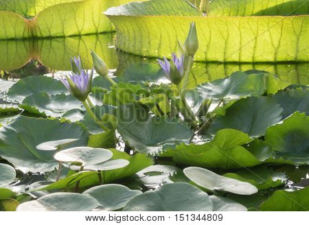 Blooming Lotus in the pond. The background of the huge water Lily Victoria Amazonian
