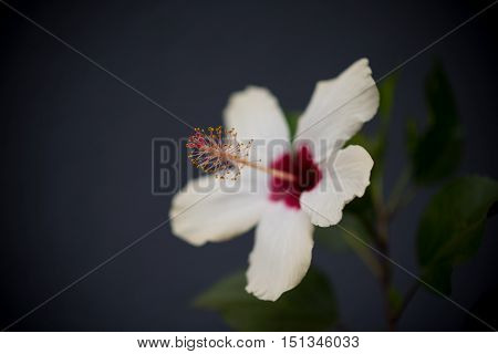 This is  a photograph of a Hibiscus Flower.