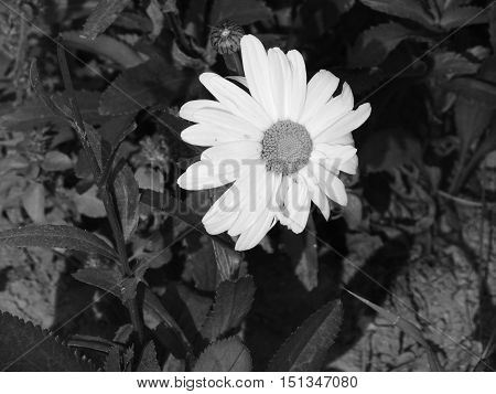 Una flor solitaria en blanco y negro