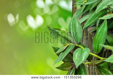 Close up beautiful wandering jew plant on green nature background