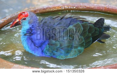 Black-backed Swamphen bathing in ceramic water bowl, aviary near Songkhla, Thailand