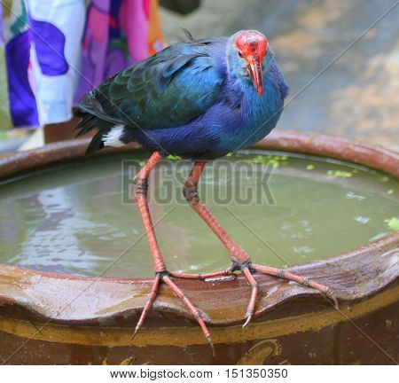tame Black-backed Swamphen perching on edge of ceramic water bowl near Songkhla, Thailand