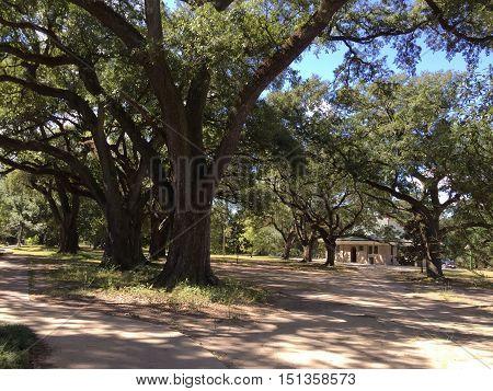 New Orleans City Park Live Oak Trees