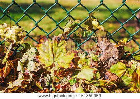 background of autumn leaves at the chain-link fence. colorful fall leaves are illuminated by sunlight and lying at the fence