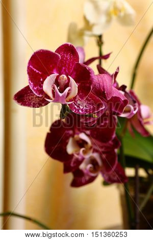Nature, flora, flowers, orchids, Pets, flowers, Orchid, beauty, Phalaenopsis