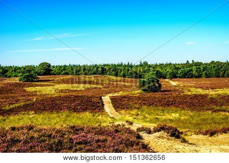 Heather Fields with blooming Purple Calluna Heathers on the Elspeedse Heide in Veluwe surrounded by forest of pine trees viewed from the Vodseberg near the town of Elspeed in the Netherlands