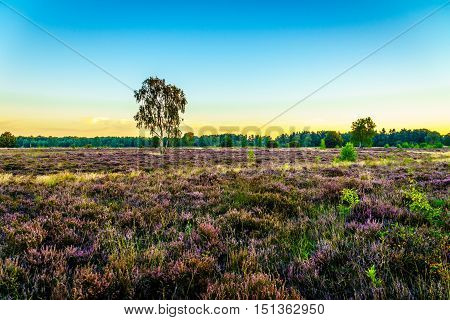 Heather Fields with blooming Purple Calluna Heathers on the Ermelose Heide in the Veluwe near the town of Ermelo in the Netherlands