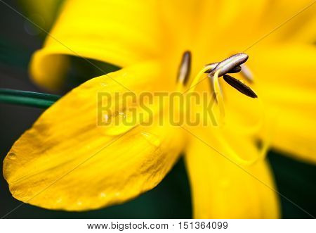 Closeup of the blooming yellow lily flower with dewdrops.