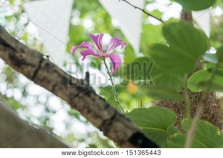 Purple Orchid Tree Hong Kong Orchid Tree Purple Bauhinia with Selective Focus