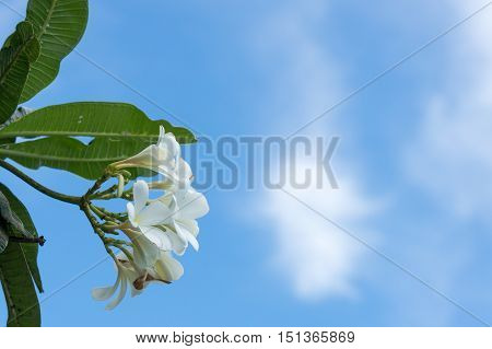 frangipani flower plumeria flower white plumeria with blue sky background