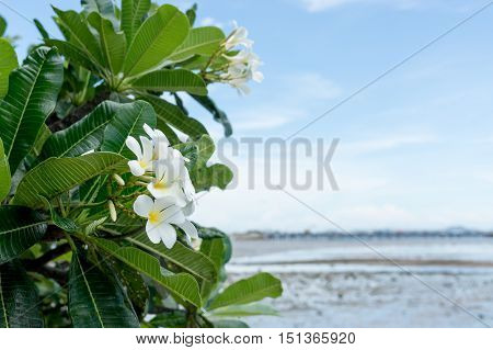 frangipani flower plumeria flower white plumeria with blue sky background and blur of sea