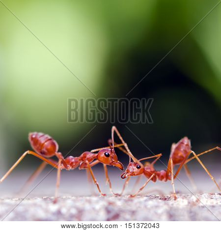 Two ants look at each other with bokeh background