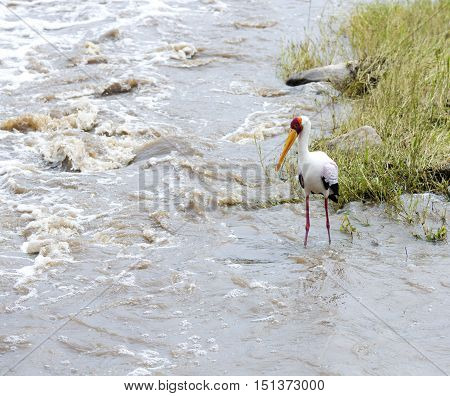 Yellow-billed stork (Mycteria ibis) fishing in seething water of the river at Tarangire National Park, Tanzania.
