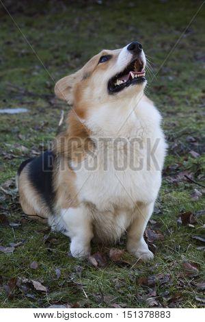a welsh corgi begging for a treat