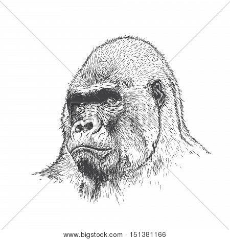 Gorilla portrait. Detailed hand drawn style. Isolated on white background
