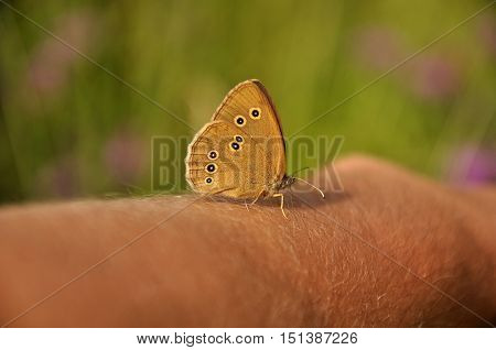The Ringlet (Aphantopus hyperantus) is a butterfly