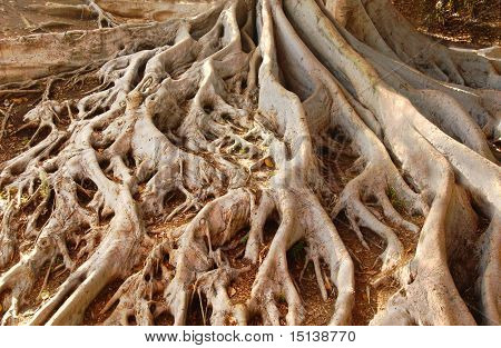 Ficus Tree Roots In Balboa Park