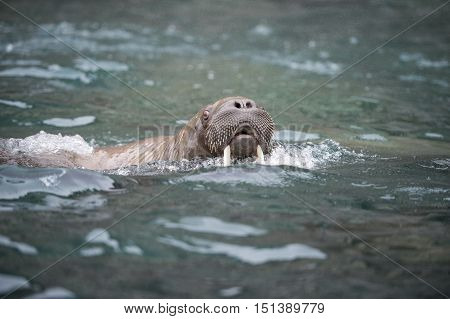 Walrus in the water travel to Russian Arctic