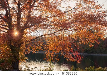 Maple tree at the edge of a lake in all its autumn glory.
