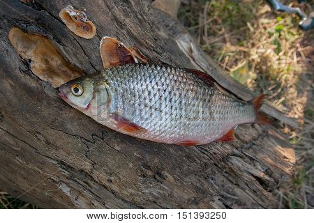 Several Common Roach Fish On Green Grass. Catching Freshwater Fish On Natural Background.