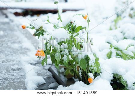 First snow on the parapet and marigold orange flowers