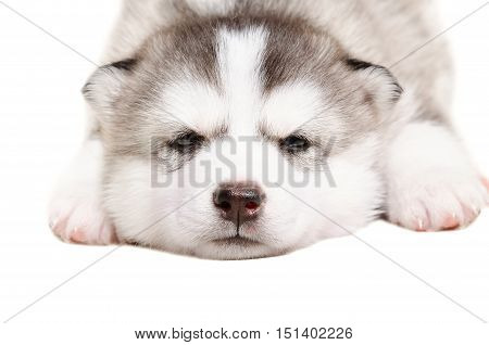 Cute puppy  Husky lying isolated on white background