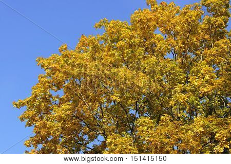 The bright yellow colored crown of the tree against the deep blue sky at sunny autumn day