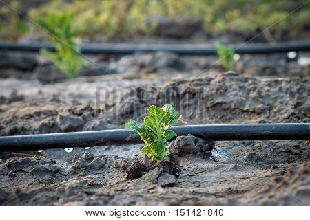 sprouting from the ground potatoes on the background of a drop irrigation