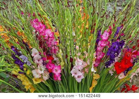 Closeup of colorful Gladiola flowers in pink purple yellow red white